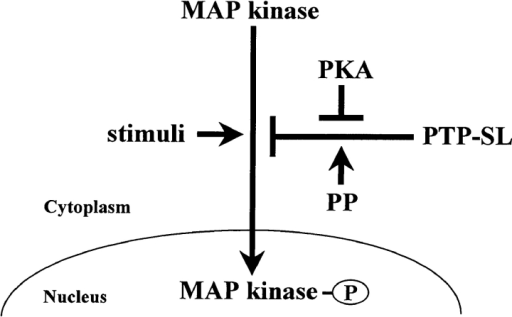 Model of MAP kinase regulation by PKA and PTP-SL. Pools of MAP kinases are maintained in the cytoplasm and into the nucleus by the balance between activation stimuli and the PTP-SL (or other KIM-containing PTPs) inhibitory effects. Upon PKA activation, the association of PTP-SL with the MAP kinase is impaired, and MAP kinase tyrosine phosphorylation and nuclear translocation is favored. The putative regulatory role for serine/threonine phosphatases (PP) in the dephosphorylation of PTP-SL, is indicated (see details in the text).