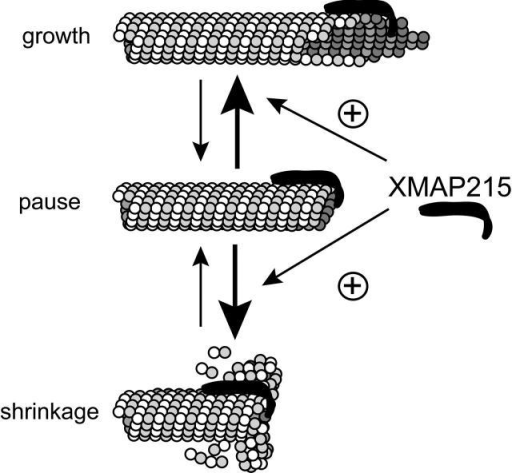 Model for the potential mechanism of XMAP215 as an antipause factor. Depicted here are the growing MT end (top) as a sheet-like structure of protofilament extensions and the shrinking MT end (bottom) with curled protofilaments (adapted from Miyamoto et al., 2002). The hypothetical paused MT end structure (middle) is positioned as an obligate intermediate between the two, drawn here with a blunt-ended, closed tube structure. We propose that XMAP215 destabilizes this pause state by weakening interprotofilament bonds and/or preventing tube closure, increasing transition to either the growing or shrinking state (arrows). Based on work by Cassimeris et al. (2001), we depict XMAP215 here as a long curved molecule that can bind protofilaments along their long axis.