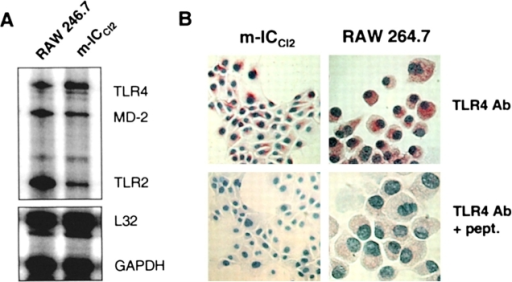 Analysis of TLR4 expression in m-ICcl2 cells and isolated intestinal crypts. (A) Ribonuclease protection assay using radioactively labeled antisense RNA probes specifically hybridizing with murine tlr4, md-2, tlr2, l32, and gapdh mRNA. (B) Immunostaining for murine TLR4 on RAW 264.7 cells and m-ICcl2 cells. As control, the primary antibody was incubated with 10 μg/ml of the peptide before use for immunization. ×1,000. (C) Immunostaining of peritoneal macrophages and bone marrow–derived macrophages isolated from wild-type C57BL/10ScSn and TLR4-deficient C57BL/10ScN mice. ×1,000. (D) Western blot of m-ICcl2 cell lysate revealing a band of the predicted protein size of TLR4 at ∼96 kD (arrow). In addition, a larger band at ∼120 kD was found representing the glycosylated form of TLR4 (arrowhead). Overlay with Con A showing binding to the larger band (arrowhead). (E) The 120-kD band of m-ICcl2 cell lysate stained with TLR4 after treatment with Endo H or PNGase F. (F) Comparison of TLR4 staining in m-ICcl2 cells using our TLR4 antibody and the TLR4 sc-12511 antibody. As control, the peptide-blocked primary antibody, or only the secondary antibody, was used for TLR4 and sc-12511, respectively. (G) TLR4 staining of isolated murine small intestinal crypts. Crypts were isolated from the small intestine of C57BL/10ScSn and TLR4-deficient C57BL/10ScN mice. ×400.