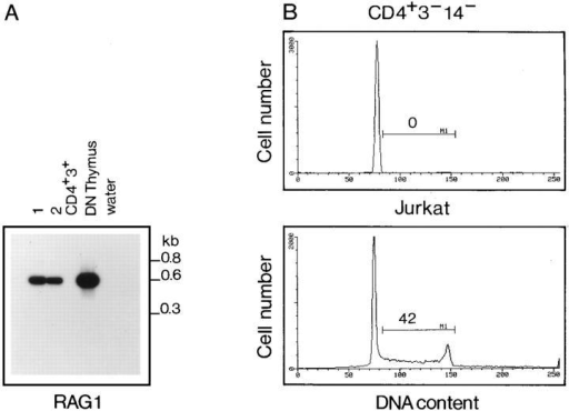 CD4+CD3−CD14− cell population expresses RAG-1 and is  not cycling. (A) RT–PCR analysis on two different samples of sorted  CD4+CD3−CD14− PBMC (1, 2), mature T cells (CD4+CD3+) and DN  thymocytes (DN Thymus). PCR products were blotted and probed with a  RAG-1-specific oligonucleotide. (B) Cell cycle analysis on sorted  CD4+CD3−CD14− (top) and on Jurkat T cell line (bottom).