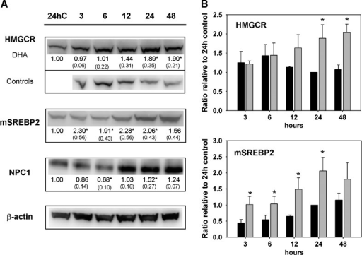 Changes in cholesterol metabolism induced by DHA. A: Western blot analysis of HMGCR, mSREBP2, and NPC1 protein levels in total protein extracts from SW620 cells treated with DHA for the indicated time periods (h). Controls were harvested at all time points; only 24 h control is shown for mSREBP2 and NPC1. For HMGCR, controls are shown for all time points. β-actin was used as a control for equal protein loading. One blot, representing three independent experiments, is shown. The blots were quantified and protein band intensities normalized relative loading control. The actin adjusted band intensities from the DHA and control membranes were further normalized relative to the 24 h control band, present at all membranes, to adjust for differences in signal intensities between the membranes. The numbers under the blots represent mean fold change (with SD) of DHA samples relative to control at indicted time points for three independent experiments. * Significantly different from control (Student's t-test, P < 0.05). B: Alterations in HMGCR and mSREBP2 protein levels in control (baseline) and DHA treated cells at the indicated time periods. The plots show the mean value of the actin adjusted band intensitites normalized relative to the 24 h control band for DHA treated cells (gray bars) and control cells (black bars). The data represent the mean and SD of three independent experiments. * Significantly different from control (Student's t-test, P < 0.05).