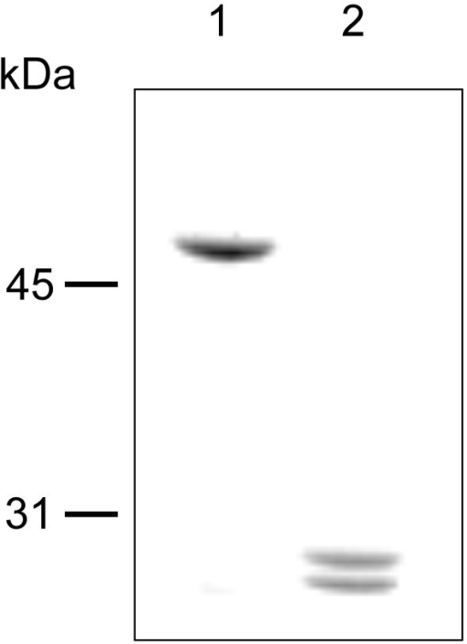 SDS-PAGE analysis of SlpA fragments obtained after trypsin digestion. Lane 1, undigested SlpA. Lane 2, SlpA after digestion with trypsin. Numbers on the left indicate molecular weights in kilodaltons.