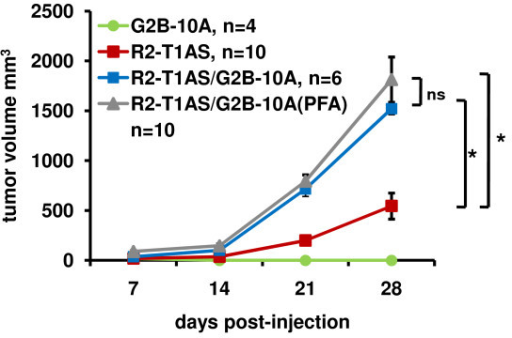 G2B-10A benign mammary epithelial cells increase the tumorigenicity of R2-T1AS cells in vivo independent of benign-cell secreted factors. Growth of xenograft tumors in nude mice resulting from the injection of 4 × 106 G2B-10A cells alone (G2B-10A, green line, n = 4), 1 × 106 R2-T1AS cells alone (R2-T1AS, red line, n = 10), 1 × 106 R2-T1AS cells mixed with 4 × 106 G2B-10A cells (R2-T1AS/G2B-10A, blue line, n = 6) and 1 × 106 R2-T1AS mixed with 4 × 106 PFA-fixed G2B-10A cells (R2-T1AS/G2B-10A(PFA), gray line, n = 10). Tumor size was measured every 7 days using a digital caliper and tumor volume was calculated using the formula 0.52 × length × width2. Data shown are derived from 2 independent experiments. *p < 0.05.