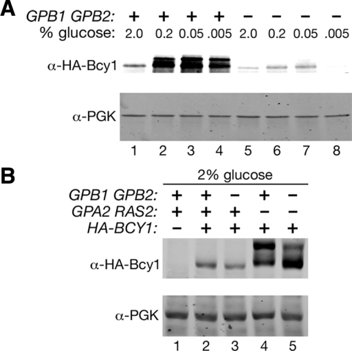 Deletion of GPB1 and GPB2 affects phosphorylation and abundance of Bcy1. (A) Cell lysates were prepared from strains HS287-2C (bcy1Δ) and HS293-10D (gpb1Δ gpb2Δ bcy1Δ) carrying plasmid 313pBHB1-416 that were grown in 2% glucose to log phase and then switched to the indicated concentrations of glucose for 3 h. Lysates were analyzed by SDS-PAGE and immunoblotting with anti-HA and anti-PGK antibodies. (B) Cell lysates were prepared from wild-type strain SKY762 carrying vector YCplac33 and from the following strains carrying plasmid 313pBHB1-416: wild-type strain SKY762, strain HS182-3B.k2T (gpb1Δ gpb2Δ), strain HS275-9B (gpa2Δ ras2Δ), and strain HS282-23C (gpb1Δ gpb2Δ gpa2Δ ras2Δ). Cells were grown in 2.0% glucose to log phase, and lysates were analyzed by SDS-PAGE and immunoblotting with anti-HA and anti-PGK antibodies.