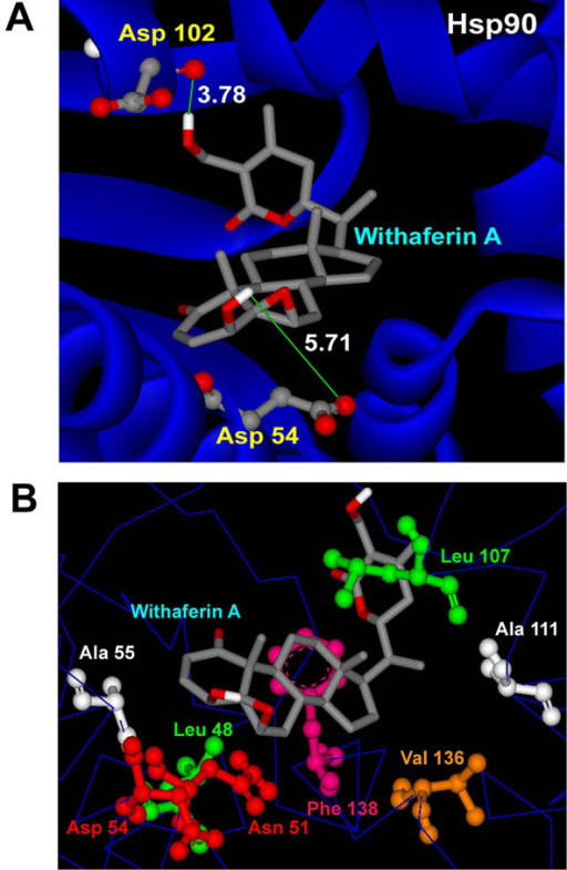 Interactions of docked withaferin A with Hsp90 receptor. (A) H-Bond interactions of the docked ligand with Hsp90 residues. (B) Docked withaferin A forming vdw interactions with the hydrophobic residues of Hsp90.