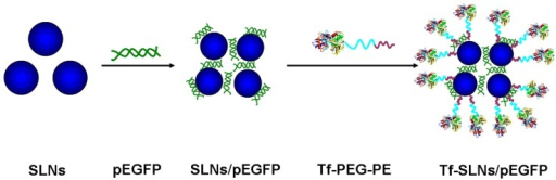 Preparation of Tf-PEG-PE-modified SLNs/pEGFP. Abbreviations: SLNs, solid lipid nanoparticles; pEGFP, enhanced green fluorescence protein plasmid; Tf, transferrin; PEG, polyethylene glycol; PE, L-α-phosphatidylethanolamine.