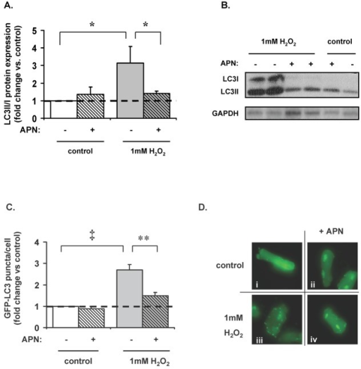 APN-attenuates H2O2-mediated autophagy in ARVM.(A) 1mM H2O2 increased LC3II/I protein expression ratio in ARVM by a factor of 3.4±1.0 (*p<0.05 vs. control). This was abrogated by pretreatment with APN (58±10% reduction; *p<0.05 vs. H2O2-treated cells). (B) Representative Western blot. (C) ARVMs were transfected with GFP-labeled LC3 virus (10moi) to visualize the presence of autophagosomes. 1mM H2O2 increased the number of GFP-LC3 puncta per cell by a factor of 2.7±0.2 vs. control; (‡p<0.001). Pretreatment with APN decreased this by 45±3% vs. H2O2-treated cells (**p<0.01). (D) Treatment with H2O2 (iii) induced the formation of the autophagosome as indicated by green puncta marking the cell perimeter vs. control (i). Pretreatment with APN (ii) led to a reduced number of H2O2-induced punctate autophagosomes (iv).