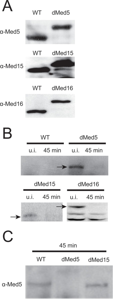 Confirmation of expression and specific, induced degradation of the MED5, MED15 and MED16 Degron constructs.(A) Crude protein extracts isolated from the wild type strain and each of the med5, med15, and med16 Degron strains, grown at the permissive conditions (24°C/YPD/0.1 mM CuSO4), were separated on 10% SDS-PAGE, transferred to PVDF membranes and blotted with α-Med5, α-Med15 and α-Med16 antibodies, respectively. (B) Crude protein extracts were isolated from the wild type strain and each of the med5, med15 and med16 Degron strains at the permissive conditions (uninduced, u.i.) and 45 minutes after switching to the non-permissive growth conditions. The extracts were separated on 10% SDS-PAGE, transferred to PVDF membranes and blotted with anti c-myc antibodies (specific for the Degron-tag). (C) Specific degradation of Degron-tagged MED5. Crude protein extracts were isolated from the wild type strain, the med5 Degron strain, and the med15 Degron strain 45 minutes after switching to the restrictive growth conditions. Proteins were separated on 10% SDS-PAGE, transferred to PVDF-membranes and blotted with α-Med5 antibodies.