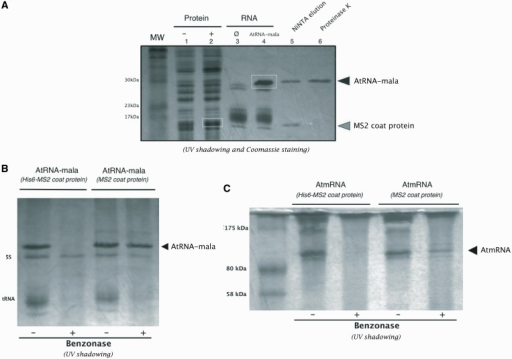 The use of His6-MS2 coat protein simplifies the RNA purification protocol. (A) Co-expression of AtRNA-mala/His6-MS2 coat protein in E. coli JM101 strain. Crude bacteria extracts before (lane 1) and after (lane 2) IPTG induction, and crude RNA minipreps (lane 3 and 4) were separated on a 16% SDS–PAGE gel and visualized by Coomassie Brilliant Blue staining and UV shadowing. Stroke indicates the control experiment: bacteria transformed by the vector with no insert. White boxes indicate the overexpressed AtRNA-mala and the MS2 coat protein. NiNTA elution (lane 5): the AtRNA-mala/His6-MS2 coat protein complex was eluted in the same fractions upon binding to NiNTA agarose column. The MS2 coat protein can then be digested using proteinase K (lane 6). The black triangle indicates the AtRNA-mala band and the grey triangle indicates the MS2 coat protein band. The molecular weight of protein standards is given in kilodalton on the left. (B) Comparison of benzonase resistance of the AtRNA-mala because of co-expression with the MS2 protein (wild-type or His-tagged). RNA extracts in absence (−) or in presence (+) of benzonase in the lysis supernatant (sonication) were analysed by electrophoresis on a 16% SDS–PAGE gel and visualized by UV shadowing. The black triangle indicates the AtRNA-mala. (C) Comparison of benzonase resistance of the AtmRNA because of co-expression with the MS2 protein (wild-type or His-tagged). RNA extracts in absence (−) or in presence (+) of benzonase in the lysis supernatant (sonication) were analysed by electrophoresis on a 16% SDS–PAGE gel and visualized by UV shadowing. The black triangle indicates the AtmRNA.