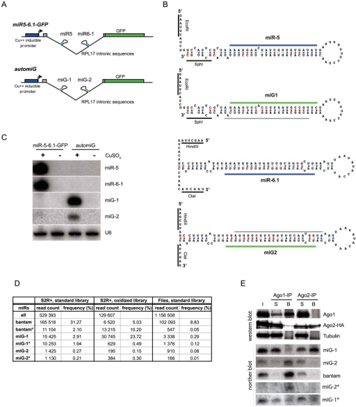 The automiG construct expresses miRNAs targeted to GFP sequences.(A) Schemes of the miR5-6.1-GFP and automiG constructs. (B) Folded sequences of miR-5, miR-6.1, miG-1 and miG-2 precursors in miR5-6.1-GFP or automiG constructs. Positions of mature miR-5 and miR-6.1 sequences are indicated with blue bars. Positions of mature miG-1 and miG-2 sequences are indicated with green bars. Positions of miG-1* and miG-2* sequences are indicated with grey bars. (C) S2R+ cell lines stably transfected with miR5-6.1-GFP or automiG were grown for 48 h in the presence or absence of CuSO4. Total RNA from these cells was analyzed in northern blot using the indicated radiolabeled probes. U6 RNA was used as a loading control. (D) Solexa sequencing of small RNA libraries prepared from S2R+ cells or transgenic flies stably transfected with the ubi-automiG construct. The oxidized library was generated from small RNA treated by NaIO4 before adapter ligation. For each library, the total number of reads of Drosophila miRNAs (all) is indicated, as well as the number of reads of bantam, miG-1, miG-2 and of the corresponding miR* species. Frequencies are expressed relatively to the total number of miRNA reads in the libraries. (E) S2 cells stably transfected with automiG and a construct expressing a tagged Ago2-HA protein were grown for 48 h in the presence of CuSO4. A total extract from these cells was split and immunoprecipitated using anti-Ago1 (Ago1-IP) or anti-HA (Ago-2-IP) antibodies. Protein content of input (I), supernatant (S) and bound fractions (B) was analyzed by western blot using the indicated antibodies. RNA was extracted from I, S and B fractions and analyzed by northern blot using miG-1, miG-2, miG-1*, miG-2* and bantam radiolabeled probes.