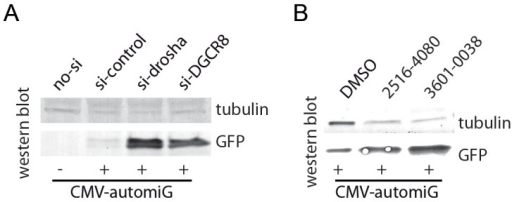 The CMV-automiG construct is a sensor of the human miRNA pathway.(A) HeLa cells transiently co-transfected with CMV-automiG and the indicated siRNAs were grown for 72 h and GFP expression was analyzed by western blot. The γ-Tubulin protein was used as a loading control. (B) Suppression of the CMV-automiG silencing by the #2516-4080 and #3601-0038 compounds. HeLa cells transiently transfected with CMV-automiG for 24 h were soaked for 48 additional hours with the indicated compounds or DMSO alone as a control, and GFP expression was analyzed by western blot. The γ-Tubulin protein was used as a loading control. The effects of the compounds #D010-0185 and #D094-0021 on GFP expression could not be assayed due to their toxicity.