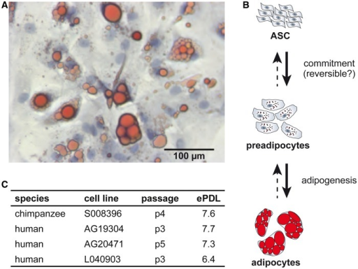Pluripotency insights. (A) Brightfield image of adipocytes after 14 days of differentiation depicting the nucleus (blue: Mayer's hematoxylin) and lipid droplets (red: Oil Red O). (B) Schematic of ASC differentiation into adipocytes, modified from Cawthorn et al. (2012). (C) Relative age of cell lines in this study measured by passage number and estimated population doubling level (ePDL).