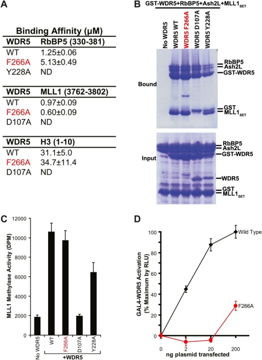 WDR5 F266A lncRNA binding mutant does not affect MLL complex formation or catalytic function, but shows decreased ability to activate target genes in 293T cells.(A) WDR5 binding affinity to RbBP5, MLL1, or H3 peptides by isothermal calorimetry. ND, not detectable. (B) WDR5 F266A does not have decreased binding to RbBP5, Ash2L and MLL1SET domain proteins in GST protein pull down assays. (C) WDR5 F266A does not affect histone methylase activity of the MLL1 complex. (D) GAL4-WDR5 F266 is defective in activating luciferase expression, as seen in luciferase titration tests.DOI:http://dx.doi.org/10.7554/eLife.02046.005