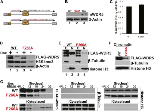 WDR5 F266A mutation decreases protein stability and localization to chromatin.(A) Schematic of lentiviral vectors, modified from (Ang et al., 2011). (B) Western blot demonstrating successful mouse WDR5 knockdown. (C) qRT-PCR results demonstrating equal RNA expression of human WDR5 WT and WDR5 F266A. (D) Western blot of WDR5 WT and WDR5 F266A protein expression, also with 4 days after doxycycline removal. (E) WDR5 F266A is defective in nuclear accumulation, compared with WDR5 WT. (F) WDR5 F266A reduces chromatin association, as seen in chromatin isolation experiments. (G) WDR5 F266A mutation decreases protein stability in the nucleus after doxycycline withdrawal. Both WDR5 WT and WDR5 F266A are similarly unstable in the cytoplasmic fraction.DOI:http://dx.doi.org/10.7554/eLife.02046.006