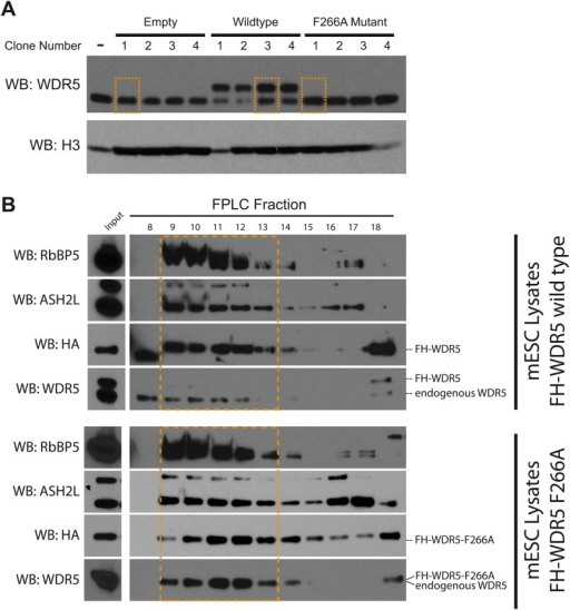 Characterization of FLAG-HA ES cell lines.(A) Western blot analysis of individually isolated ESC clones. antiWDR5 blotting reveals the total expression level of WDR5 in mock, FH-WDR5 wild type, and FH-WDR5 F266A mutant ESCs. The FH tag adds ∼8 kDa to WDR5, resulting in the observed shift, where as the F266A sees no shift because the construct is N-terminally shorter. Orange boxes are draw around clones that were isolated and used in the RIPiT experiments due to their near endogenous expression level. (B) FPLC analysis of the selected wild type and F266A FH-WDR5 clones. Each fraction was subjected to western blot analysis for HA (tagged protein), WDR5, Ash2L, and RbBP5. Orange boxes appear around the endogenous large molecular weight MLL complex, where the majority of the tagged FH-WDR5 constructs elute.DOI:http://dx.doi.org/10.7554/eLife.02046.008