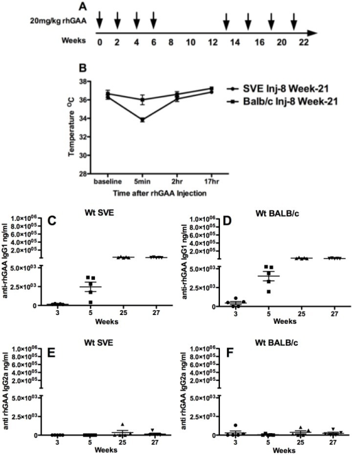A) Experimental timeline B) Core temperature measurements prior to and post the 8th rhGAA IV injection in wt 129 SVE and wt BALB/c mice (n = 5) C) Anti-rhGAA IgG1 antibody in 129SVE wt mice D) Anti-rhGAA IgG1 antibody in BALB/c mice E) Anti-rhGAA IgG2a antibody in wt 129SVE mice F) Anti-rhGAA IgG2a antibody in wt BALB/c mice.
