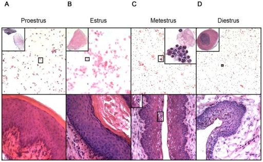 Tissue changes in the FRT during the estrous cycle of the mouse.Vaginal smears were taken from naïve virgin C57BL/6 female mice (8–12 weeks old) over the course of one estrous cycle and used for determination of cycle stage. Mice were killed at PE (A), E (B), ME (C) and DE (D) and tissue sections of vagina were cut. Vaginal smears (top panel) and tissue sections (bottom panel) were stained with H&E. The insets in the top panel show typical cell types found in vaginal smears of each cycle stage. The inset in the bottom panel shows neutrophils present in vaginal epithelium. Representative images from conventional cycle stage assessments are shown. Top panel, 100× magnification; bottom panel, 400× magnification.
