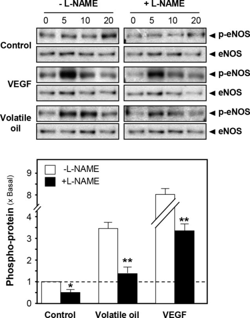 Phosphorylation of eNOS by NRR volatile oil in cultured HUVEC cells.Cultured HUVECs were pre-treated with serum free medium or L-NAME (100 µM) for 3 hours, and treated with NRR volatile oil (25 µg/mL), VEGF (10 ng/mL, positive control) or control (serum free medium) for different time points (0 to 20 min). Phospho-eNOS Ser1177 (~135 kDa) and total eNOS (~135 kDa) were revealed by using specific antibodies (upper panel). Quantification of phospho-eNOS protein (at 5 min) from the blot was calculated by a densitometer (lower panel). Data were expressed as x Basal where the control (untreated culture) was set as 1, Mean ± SEM, n = 4, each with triplicate samples. **p<0.01.