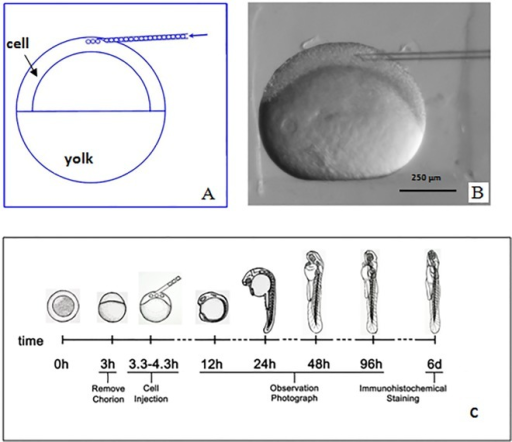 The structure of zebrafish embryo and experimental desi | Open-i