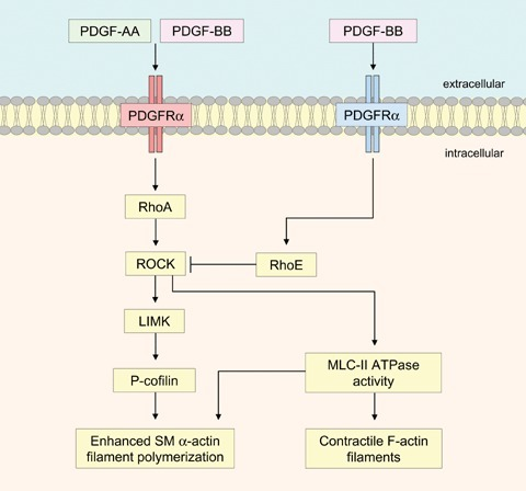 Schematic diagram showing distinct differences between PDGFRα and PDGFRβ signalling, which results in the regulation of contractile SM -actin filaments within MSCs. PDGF-AA induced PDGFRα signalling activates RhoA and increases cofilin phosphorylation via LIM kinase, resulting in enhanced SM α-actin filament polymerization. In addition, ROCK activates myosin light chain (MLC)-II ATPase activity, which is necessary for both SM α-actin and F-actin filament polymerization. In contrast, PDGF-BB induced PDGFRβ signalling increases RhoE, which inhibits ROCK activity, promoting SM α-actin filament depolymerization.