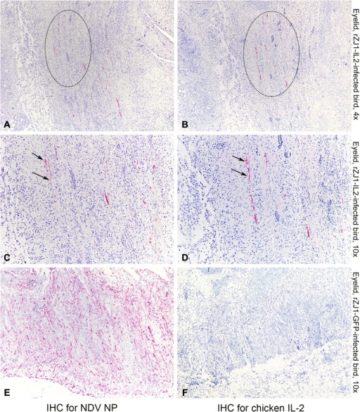 Photomicrographs illustrating immunohistochemistry (IHC) for NDV NP (first column of panels) and IL-2 (second column of panels) on sections of eyelids. Tissues were harvested from 4-week-old White Leghorn chickens infected with rZJ1-IL2 (a-d) and rZJ1-GFP (e, f) at day 5 pi. Alkaline phosphatase method and hematoxylin counterstain. At low magnification, in the eyelids of rZJ1-IL2-infected birds, the same areas that are immunolabeled for NDV NP are also positive for chicken IL-2 (dotted circles). At higher magnification, scattered cells in consecutive sections are immunolabeled for both NDV NP and IL-2 (arrows). No signal for IL-2 is observed in sections of eyelids from rZJ1-GFP-infected animals (f)