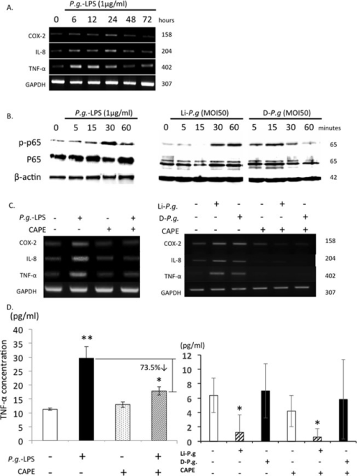 P.g. LPS Up-regulates Expression of Inflammatory Mediators via NF-κB Signaling in Trophoblasts.(A) HTR-8 trophoblasts were seeded (5x105 cells/well) in 6-well culture plates and culture media were changed once before stimulation. Cells were treated by P.g.-LPS (1 μg/ml unless otherwise noted) and both culture medium and cells were collected. mRNA expressions of COX-2, IL-8 and TNF-α were analyzed from cell pellets. (B) HTR-8 cells were stimulated with P.g.-LPS, Li-P.g. (live-P.g.) or D-P.g. (dead-P.g.) and cell lysates were examined by immunoblotting analysis using p-p65, p65. Molecular weight is labeled to the right of each band. (C,D) HTR-8 cells were pretreated with or without CAPE for 4 hrs and then stimulated with or without P.g.-LPS, Li-P.g. (live-P.g.) or D-P.g. (dead-P.g.) for 24 hrs. mRNA expressions of COX-2, IL-8 and TNF-α (C); protein secretion of TNF-α were examined (D). TNF-α amount in negative controls were subtracted as basal levels when calculating the percentage of down-regulation. GAPDH or β-actin was used as internal control. MOI, multiplicity of infection. *p < 0.05, **p < 0.01. Experiments were performed at least three times with similar results.