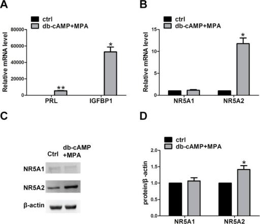 The expression of NR5A1 and NR5A2 after the induction of decidualization for 6 days.(A) The mRNA expression of PRL and IGFBP1 after induction of decidualization. (B) The mRNA expression of NR5A1 and NR5A2. (C) Bands representing NR5A1, NR5A2, and β-actin proteins on a western blot. (D) The relative expression levels of NR5A1 and NR5A2 to that of β-actin. The data were shown as mean ± SEM, n = 5, *P < 0.05, and **P < 0.01. Ctrl, control hESCs; db-cAMP+MPA, treated hESCs. PRL, prolactin; IGFBP1, insulin-like growth factor binding protein 1; *P < 0.05; **P < 0.01.