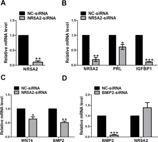 Molecular expression mechanism underlying the effect of NR5A2 interference.(A) Efficiency of NR5A2 siRNA mediated knockdown. (B) The mRNA expression of PRL and IGFBP1 after the knocking down of NR5A2. (C) The mRNA expression of WNT4 and BMP2 after the knocking down of NR5A2. (D) The mRNA expression of BMP2 and NR5A2 after the knocking down of BMP2. The data are expressed as the mean ± SEM. PRL, prolactin; IGFBP1, insulin-like growth factor binding protein 1; *P < 0.05; **P < 0.01; ***P < 0.001.