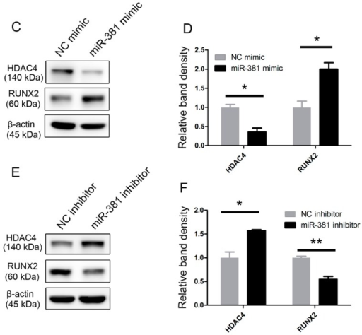 Evaluation of the mRNA and protein expression levels of HDAC4 and RUNX2 after overexpression/knockdown of miR-381. (A,B) SW1353 cells were transfected with (A) a miR-381 mimic or (B) a miR-381 inhibitor and the mRNA expression levels of HDAC4 and RUNX2 were determined by quantitative real-time reverse transcription (qRT)-PCR analysis; (C–F) Western blot analysis of HDAC4 and RUNX2 expression in SW1353 cells transfected with (C,D) a miR-381 mimic or (E,F) a miR-381 inhibitor. Panels D and F contain graphic depictions of the protein expression levels quantified from the data presented in panels C and E, respectively. Data are presented as means ± standard deviations from three independent experiments. * p < 0.05; ** p < 0.001. miR-381, microRNA-381; HDAC4, histone deacetylase 4; RUNX2, Runt-related transcription factor 2.