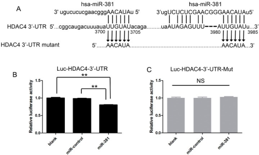 miR-381 modulates HDAC4 expression via interaction with a binding site within the 3′ untranslated region (UTR) of the HDAC4 mRNA; (A) sequences of the putative miR-381 binding sites within the 3′-UTR of HDAC4; (B,C) SW1353 cells were transfected with the wild-type HDAC4 3′-UTR luciferase reporter plasmid (Luc-HDAC4-3′-UTR) alone (blank), or were co-transfected with Luc-HDAC4-3′-UTR or the mutated HDAC4 3′-UTR luciferase reporter plasmid (Luc-HDAC4-3′-UTR-mut) and the miR-381 mimic or nonspecific control microRNA (miR-control). Luciferase activity was then assessed using the Dual-Glo Luciferase Assay System. Data are presented as means ± standard deviations from three independent experiments. ** p < 0.001. NS, not significant.