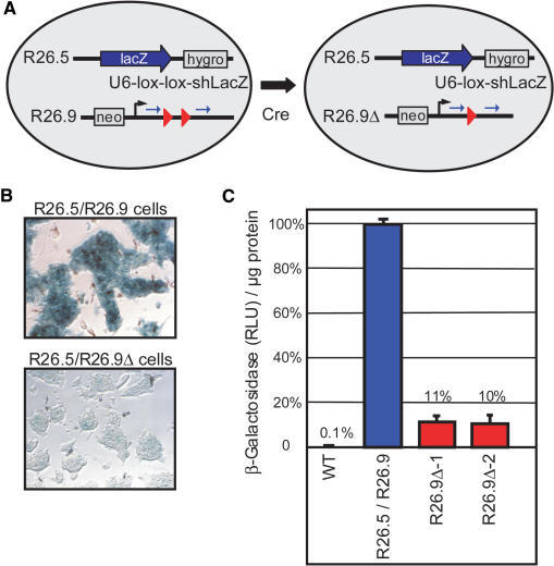 Cre mediated activation of a single copy conditional shRNA vector within the Rosa26 locus of murine ES cells. (A) One Rosa26 allele of ES cells was modified by a gene-targeting vector (R26.5) that introduced a splice acceptor-lacZ cassette and a hygromycin resistance gene such that β-Galactosidase (lacZ) is expressed from the endogenous Rosa26 promoter. R26.5 ES cells were further modified with a gene targeting vector (R26.9) that introduced a neomycin resistance gene and the conditional shRNA vector U6-lox-lox-shLacZ. The R26.5/R26.9 ES cells were transiently transfected with a Cre expression vector and subclones that recombined the R26.9 allele (R26.9Δ) were isolated. (B) X-Gal staining of fixed R26.5/R26.9 ES cells in comparison to a R26.5/R26.9Δ clone shows highly reduced β-Galactosidase activity in the latter cells (magnification 20×). (C) Comparison of β-Galactosidase activity in lysates of R26.5/R26.9 ES cells (mean of three non-deleted subclones, blue column) in comparison to two deleted subclones (R26.9Δ-1, R26.9Δ-2, red columns) and wild type ES cells (WT). Values are shown as β-Galactosidase activity in RLU per micrograms protein of the lysates in comparison to the non-deleted clones and are expressed as mean values with SD.