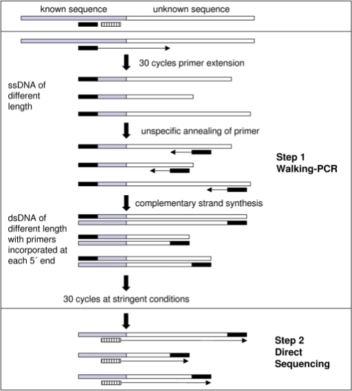 Basic principle of the Two-Step Gene Walking procedure. Known sequence stretch is shown in gray; unknown sequence stretch is shown in white; Walking-PCR primer is shown in black; specific nested sequencing primer is shown striped. In first 30 cycles, the PCR primer binds at stringent conditions; specific ssDNA of different length (caused by different drop off sites of polymerase) is produced. One subsequent cycle at low annealing temperature allows unspecific binding of primer at different sites on ssDNA as reverse primer. dsDNA of different length with primer sequence incorporated at each 5-prime end is produced. Thirty cycles at stringent conditions specifically and exponentially amplify dsDNA. PCR product is sequenced directly by using a specific nested primer.