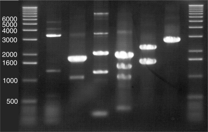 Typical walking-PCR product patterns. Different Walking-PCR products, which were successfully used for direct sequencing with nested specific primers, are shown. Patterns show big variety based on different templates and different primers. 5 µl aliquots were loaded on a 1% agarose gel and subjected to electrophoresis. 1 kb DNA Ladder (Invitrogen, USA) is shown in first and in last lane. Numbers stand for corresponding fragment lengths of respective bands.