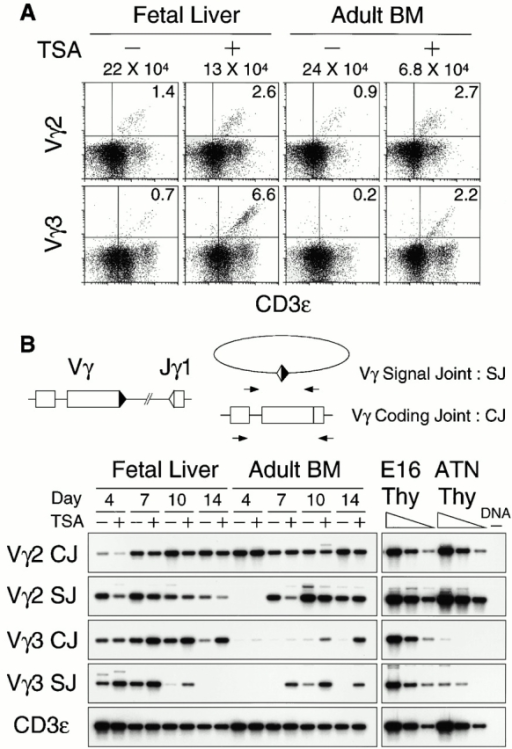 TSA induces Vγ3 rearrangements in adult-derived thymocytes. (A) Flow cytometric analysis of organ-cultured thymocytes in fetal thymic lobes repopulated with E14 fetal liver and adult bone marrow (BM) cells. Thymocytes cultured for 14 d with (+) or without (−) TSA were stained with FITC-Vγ2 and PE-CD3ε, or PE-Vγ3 and FITC-CD3ε antibodies. Average cell numbers per lobe from four lobes and percentages of cells for a given phenotype are shown above and inside each panel, respectively. (B) PCR analysis of organ-cultured thymocyte DNA to measure coding joints (CJ) and signal joints (SJ) of Vγ2-Jγ1 or Vγ3-Jγ1, and CD3ε gene for a control. Fivefold serial dilutions of E16 and adult TN (ATN) thymocyte (Thy) DNA and no DNA control (DNA−) were also subjected to PCR.
