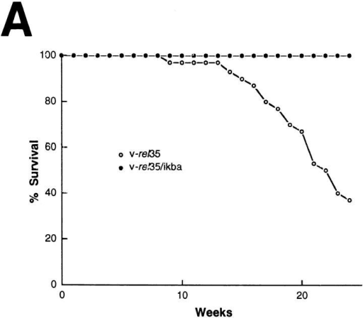 Overexpression of IκBα increases survival of v-rel transgenic  mice and changes the clinical expression. (A) Mortality curve. Deaths in  v-rel/ikba transgenic animals occurred at later times and were the result of  secondary opportunistic infection according to pathologic analysis and  microbiology. Autopsy, and histologic examination of v-rel/ikba transgenic mice revealed a less severe lymphomatous infiltrate than in v-rel  transgenic mice. n = 29 for v-rel 35, and n = 13 for v-rel/ikba. (B) T-cell  cutaneous lymphoma in v-rel/ikba double transgenic mice. All v-rel/ikba  transgenic mice developed skin lesions characterized by thickening and  exfoliative plaques. Arrow indicates a v-rel/ikba transgenic mouse; the  control mouse is an ikba transgenic littermate. (The lesions were never  observed in v-rel transgenic mice.)