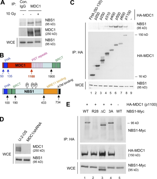 Interaction between NBS1 and MDC1 is mediated by the FHA domain of NBS1 and the first 500 amino acids of MDC1. (A) Endogenous MDC1 and NBS1 interact both before and after DNA damage. Lysates from U2OS cells either mock or γ irradiated (10 Gy for 1 h) were subjected to immunoprecipitation with an anti-MDC1 antibody and analyzed for the presence of NBS1 by immunoblotting. A nonimmune species-matched antibody was used as a control. Expression levels of NBS1 in whole cell extracts (bottom) indicate an equal input in each lane. (B) A schematic structure of MDC1 and NBS1. The red segment indicates the N-terminal region of MDC1 (amino acids 1–1,100) subjected to progressive deletion and interaction analysis with NBS1. (C) The N-terminal region of MDC1 spanning the first 500 amino acids efficiently interacts with cellular NBS1. The indicated HA-tagged fragments of the MDC1 N terminus were transfected into MDC1/shRNA cells (the numbers indicate the C-terminal amino acid of each fragment). After 24 h, lysates were prepared, subjected to immunoprecipitation with an anti-HA antibody, and analyzed by immunoblotting with antibodies to NBS1 (top) and HA (middle). The input into each reaction was controlled by NBS1 immunoblotting of the whole cell extracts as in A (bottom). (D) Efficient knockdown of endogenous MDC1. Lysates from U2OS cells and its derivative in which MDC1 is knocked down by stably integrated shRNA (MDC1/shRNA) were analyzed by immunoblotting with an MDC1-specific antibody (top). The NBS1 immunoblot serves as a loading control and indicates that the overall levels of NBS1 are not affected by the MDC1 knockdown (bottom). (E) The FHA domain of NBS1 interacts with the MDC1 N terminus. MDC1/shRNA cells were cotransfected with the HA-tagged MDC1 N terminus (p1100) and the following Myc-tagged variants of NBS1: WT (wild type), R28 (nonfunctional FHA domain), ΔC (C-terminal deletion without the MRE11 and ATM interaction domains), and 3A (alanine substitutions of serines 278, 343, and 397, the ATM phosphorylation sites). After 24 h, lysates were immunoprecipitated with an anti-HA antibody and analyzed by immunoblotting with anti-Myc (top) and anti-HA (middle) antibodies. The bottom panel is an immunoblot of whole cell extracts and shows the input of each of the Myc-tagged NBS1 proteins. WCE, whole cell extract; PST, Pro-Ser-Thr rich.