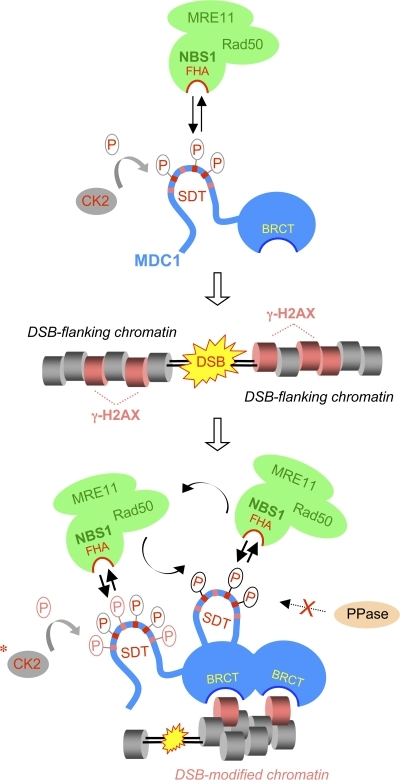 A hypothetical model of the MDC1–MRN interaction before and after DNA damage. In undamaged cells, CK2 targets the SDT-rich N terminus of MDC1. Phosphorylated SDTs are recognized by the FHA domain of NBS1 and allow dynamic interaction between MDC1 and the MRN complex (top). DSBs trigger the phosphorylation of H2AX (middle) followed by its recognition by the MDC1-associated BRCT domains (bottom). The resulting concentration of phosphorylated SDT repeated in the DSB-flanking chromatin allows immediate recruitment of the MRN complex to this compartment. CK2 (potentially together with another acidophilic kinase; indicated by an asterisk) may then stimulate MRN retention at the DSB sites by phosphorylating additional SDT repeats. Alternatively, the SDT-associated phosphates might be stabilized by inhibition of a DSB-associated protein phosphatase (PPase). Both mechanisms are compatible with a dynamic MRN exchange between distinct DSB-generated subcompartments but prevent its dilution in the undamaged nucleoplasm. See Discussion for an additional explanation.