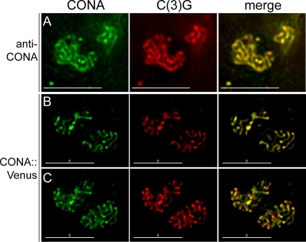 CONA protein co-localizes with C(3)G.(A) Wild-type pro-oocytes stained with anti-CONA and anti-C(3)G, showing CONA (green) and C(3)G (red) co-localization. (B) Images of a single deconvolved optical section of a pair of pro-oocytes showing that CONA::Venus (green) and C(3)G (red) co-localize extensively. (C) Maximum intensity projections of the entire nuclei from B. Scale bars, 5 µm.