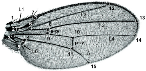 A Drosophila wing and the 15 landmarks used to characterize its shape. The landmarks are mostly located at intersections between longitudinal veins (L1 to L6), crossveins (a-cv: anterior crossvein, p-cv: posterior crossvein) and the wing margin.