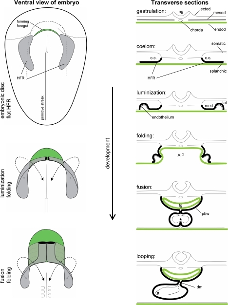 Morphological changes during early heart development. The illustrations on the left show how, by folding of the embryo, a foregut (show in green) is formed, and how the bilateral heart-forming region (shown in gray) swings toward ventral and medial to progressively fuse at the midline. The illustrations on the right show schematic transverse sections of the changes that occur in the embryo during folding. AIP anterior intestinal portal, c.c. coelomic cavity, dm dorsal mesocardium, ectod ectoderm, endod endoderm, fg foregut, HFR heart-forming region, lat lateral, med medial, mesod mesoderm, ng neural groove, pbw pericardial back wall, * contact between endocardium and myocardium. Source: images are based on Stalsberg and De Haan [42] and De Jong et al. [9]