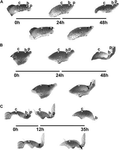 Sequences of 3D reconstructions of replicas taken from three individual shoot apices of Anagallis arvensis in the vegetative developmental phase, representing consecutive stages of leaf primordium development: initial bulging, lateral expansion, and separation stages (A); the separation stage followed by the early stage of primordium curving (B); further curving of the primordium (C). Images in the upper rows of A, B and C are side views of the reconstructed apex surface obtained from consecutive replicas. The time at which the replicas were taken is given below each reconstruction; the length of line segments between the reconstructions is proportional to the time interval between the consecutive replicas. White dots labelling the profiles point to these same cells recognized on the replicas: c is the cell on the top of SAM; b is the cell at the boundary between the meristem and leaf primordium; and p is the cell on the primordium tip or flanks. Images below the 'time segments' are the two consecutive reconstructions overlaid using the protocol described in the text. Arrows connect the positions of each dot in the two overlaid profiles, thus pointing to the displacement directions.