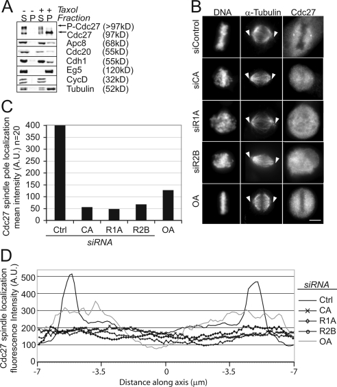 Association of Cdc27 with spindle poles requires the PPP2 subunits CA, R1A, and R2B. (A) Dephosphorylated APC/C preferentially associates with microtubule asters in vitro. Mitotic HeLa cell extracts were used for in vitro microtubule polymerization reactions in the presence or absence of taxol. Polymerized microtubules were subjected to centrifugation, and samples from the supernatant (S) and pelleted (P) microtubules were analyzed by immunoblot. Immunoblotting was used to detect the association of the APC/C subunits Cdc27, Apc8, Cdc20, Cdh1, and positive (mitotic kinesin Eg5) and negative (CycD) controls with microtubules. The upper and lower arrows indicate phosphorylated and dephosphorylated forms of Cdc27, respectively. Tubulin polymerization was confirmed by staining the membrane with Coomassie blue. (B) Depletion of CA, R1A, or R2B by siRNA leads to delocalization of Cdc27 from spindle poles. RNAi-treated cells (as in Figure 1) or cells treated acutely with 175 nM OA for 13 min were fixed and stained with Hoechst 33342 and anti-α-tubulin and anti-Cdc27 antibodies to visualize DNA, the mitotic spindle, and Cdc27, respectively. Bar, 5 μm. (C) Quantitation of mean intensity of Cdc27 at spindle poles. A 2-μm square was drawn around each of 20 spindle poles from control, CA, R1A, or R2B siRNA-treated cells or cells treated acutely with OA, and the mean fluorescence intensity of Cdc27 spindle pole staining was quantified and presented as arbitrary units (AU). (D) Spindle associated Cdc27 is reduced in mitotic cells depleted of CA, R1A, or R2B or treated acutely with OA. Line intensity measurements taken along axis intersecting the two poles (marked by arrows in A) were quantified and graphed. X-axis, distance in micrometers from the center of the two poles. Y-axis, fluorescence intensities along the axis in arbitrary units (AU).
