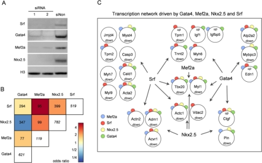 RNAi–induced knockdown of Gata4, Mef2a, Nkx2.5, and Srf.(A) Knockdown efficiency of Gata4, Mef2a, Nkx2.5 and Srf in HL-1 cells using two different siRNAs was analyzed on protein level by Western Blot 48h after transfection. Histone 3 (H3) served as loading control. In independent experiments similar knockdown efficiencies were obtained. (B) Odds ratios of pair-wise contingency tables of differentially expressed transcripts after RNAi knockdown of the respective transcription factor. Total numbers of pair-wise occurrences are given. The numbers in white boxes represent the total number of deregulated transcripts. Red indicates positive, blue negative correlation. Mef2a shows the lowest number of differentially expressed transcripts (119) probably due to buffering effects of the other Mef2 family members. Despite this fact, Mef2a shares a high number of deregulated transcripts with the other transcription factors. Of note, transcription factors having a high number of common binding targets (see Figure 1D) share only a small number of co-regulated genes in RNAi knockdown. (C) Transcription factor network showing a selection of cardiac relevant genes bound in ChIP-chip and/or ChIP-seq, and significantly differentially expressed in RNAi knockdown experiments of the respective factor. Up- and downregulation of genes is depicted and occurrence of ChIP binding marked by color-coded circles.