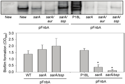 Impact of sarA, saeRS, and extracellular proteases on accumulation of FnbA and biofilm formation.Top: Relative amounts of surface-anchored FnbA were assessed in Newman (New), its saeS-repaired derivative (P18L), and its saeRS mutant (sae) after introduction of an intact copy of fnbA on a plasmid. Newman without this plasmid was included as a negative control. The impact of mutating sarA was assessed in each of these strains together with the impact of mutating the gene encoding aureolysin (aur), sspABC (ssp) or sae on the phenotype of the sarA mutants. Bottom: Biofilm formation was assessed by microtiter plate assay in Newman and P18L as well as their sarA and sarA/ssp derivatives after the introduction of pFnbA.