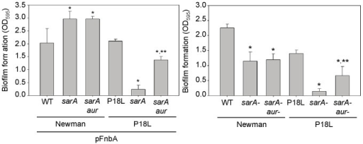 Impact of aureolysin on saeRS and sarA-dependent biofilm formation.Biofilm formation was assessed in Newman, its P18L derivative, and their sarA, sarA/aur and sarA/ssp mutants with (left) and without (right) the introduction of an intact copy of fnbA. A single asterisk indicates statistical significance (p<0.05) by comparison to the isogenic parent strain, while the double asterisk indicates statistical significance (p<0.05) by comparison to the isogenic sarA mutant.