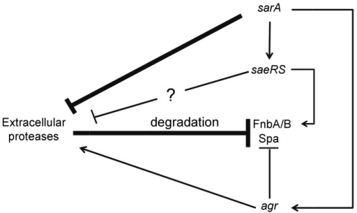 "Model for the synergistic impact of saeRS and sarA on biofilm formation.Both sarA and saeRS repress the production of extracellular proteases, with sarA having the greater effect owing to both direct repression and activation of saeRS transcription. This repression relieves the protease-mediated ""repression"" of specific surface proteins arising from degradation. This in turn promotes accumulation of these proteins and an enhanced capacity to form a biofilm. The accessory gene regulator (agr) has the opposite effects on all of these phenotypes, but, as previously described, the impact of sarA occurs independently of agr, and sarA is epistatic to agr in this context (Beenken et al., 2010)."