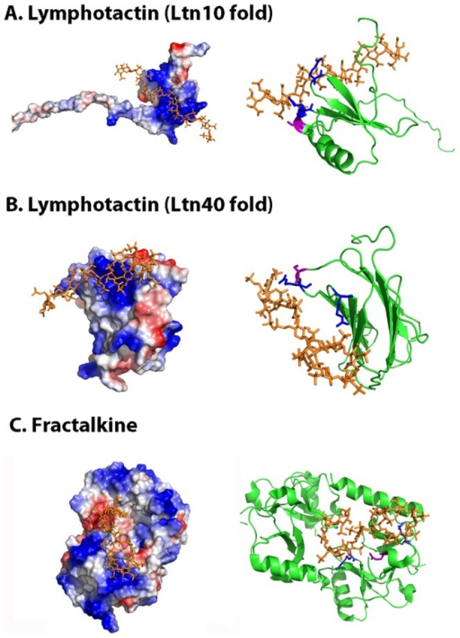 Molecular docking simulation of lymphotactin and fractalkine heparin-binding sites.The figure displays the protein electrostatic potential (left) and the protein cartoon highlighting in red the CPC clip motif (right) of lymphotactin Ltn10 (A) and Ltn40 (B) and CDF fractalkine domain (C). CPC residues are colored in blue (cationic) and magenta (polar). Heparin dodecasaccharide ligand used in docking simulations is colored in orange. PDB codes: 1J8I (Ltn10), 2JP1 (Ltn40), 1B2T (fractalkine) and 1HPN (heparin ligand).