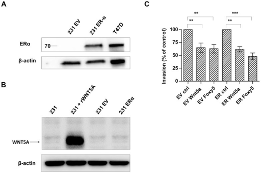 Effect of exogenous ERα expression on the ability of Wnt-5a to decrease breast cancer cell invasion.A. ERα protein expression in MDA-MB-231 cells transfected with pcDNA3 empty vector (231 EV) or ERα expression plasmid (231 ERα). Lysate from the ER-positive breast cancer cell line T47D was included as a positive control. B. Maternal, EV transfected and the ER transfected MDA-MB-231 cells were tested for their expression of Wnt-5a in lanes 1, 3 and 4, respectively. As a positive control recombinant Wnt-5a was added to maternal MDA-MD-231 cell lysate and loaded in lane 2 as a positive control. C. Treatment with recombinant Wnt-5a or the Wnt-5a mimicking peptide Foxy5 significantly reduced the invasive capacity of both ER-negative and ER-positive MDA-MB-231 cells. Error bars, SEM. Paired t-test; **, P<0.01, ***, P<0.001.