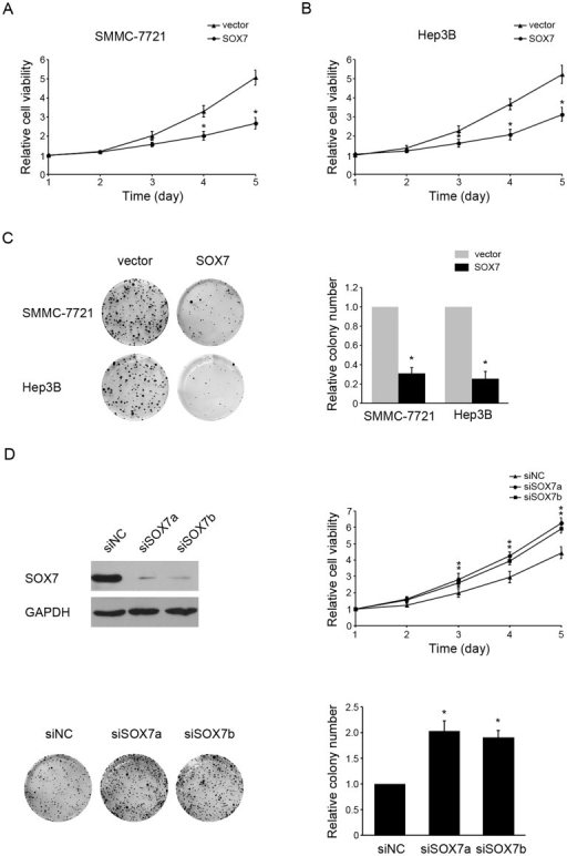 SOX7 overexpression inhibited HCC cell growth.Overexpression of SOX7 inhibited cell growth as determined by MTT assay and colony formation assay. Viability of SOX7-transfected or vector-transfected SMMC-7721(A) and Hep3B (B) cells were determined on days 1 to 5. (C) Representative pictures (left panel) and quantification (right panel) of crystal violet-stained SOX7-transfected or vector-transfected SMMC-7721 and Hep3B cells. (D) Both SOX7-specific siRNAs (siSOX7a and siSOX7b) silenced SOX7 in L02 cells successfully. SOX7 expression was detected by western blotting. (E) Viability of L02 cells transfected with siRNAs (siSOX7a and siSOX7b) or siNC were determined on days 1 to 5. (F) Representative pictures (left panel) and quantification (right panel) of crystal violet-stained L02 cells transfected with siRNAs (siSOX7a and siSOX7b) or siNC. Each bar represents the average ± SD of three independent experiments. * indicates p<0.05.