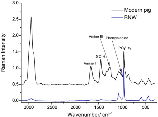 The Ft Raman Spectra Of A Modern Pig Bone And The Bone Sample From Burial